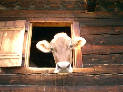 Eine Kuh im Stall auf der Engstlenalp