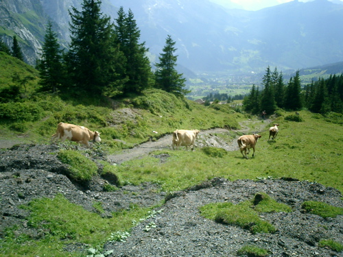 Kühe galoppieren zum Stall
